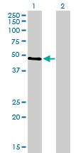 Western blot - p53 antibody (ab90580)