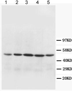 Western blot - Anti-MTCO1 antibody (ab90668)