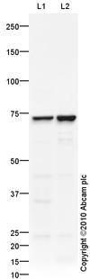 Western blot - Anti-CAPON antibody (ab90854)