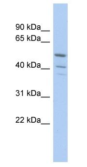 Western blot - Anti-TRIM50 antibody (ab90906)