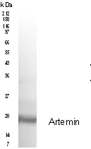 Western blot - Anti-Artemin antibody (ab91009)