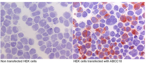 Immunocytochemistry - Anti-ABCC10 antibody [M7I-3] (ab91451)