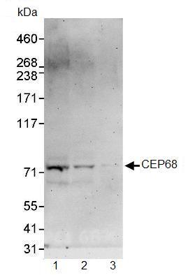 Western blot - Anti-CEP68 antibody (ab91460)