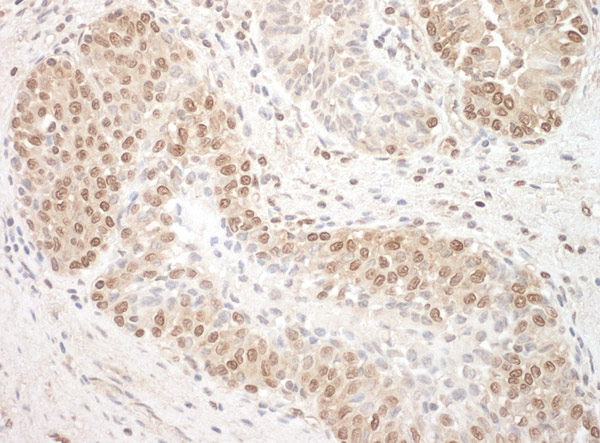 Immunohistochemistry (Formalin/PFA-fixed paraffin-embedded sections) - Anti-TFIP11 antibody (ab91520)