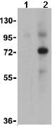 Western blot - Anti-Swine Influenza A Hemagglutinin antibody (ab91530)