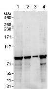 Western blot - Anti-eIF2B epsilon antibody (ab91565)