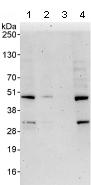 Western blot - Anti-ADRM1 antibody (ab91567)