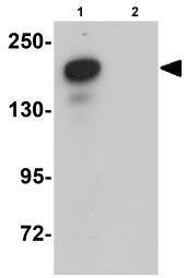 Western blot - Anti-PLEKHM2 antibody (ab91581)