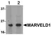 Western blot - Anti-MARVELD1 antibody (ab91640)