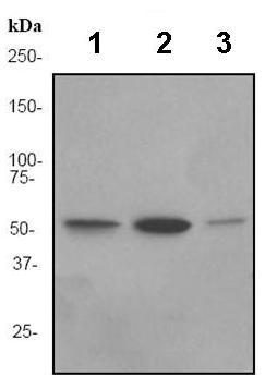 Western blot - Anti-FGR antibody [EPR3170] (ab92302)