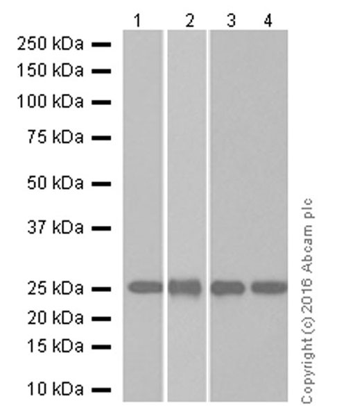 Western blot - Anti-Tubulin Polymerization Promoting Protein antibody [EPR3316] (ab92305)
