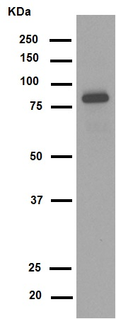 Western blot - Anti-TNFAIP3 antibody [EPR2663] (ab92324)