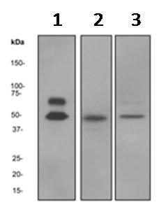 Western blot - Anti-CaMKII alpha antibody [EPR1828] (ab92332)