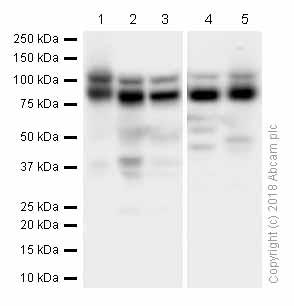 Western blot - Anti-ILF3 antibody [EPR3626] (ab92355)