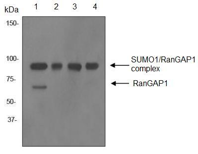 Western blot - Anti-RanGAP1 antibody [EPR3295] (ab92360)