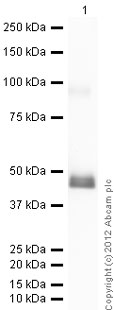 Western blot - Recombinant Human Hsp47 protein (ab92439)