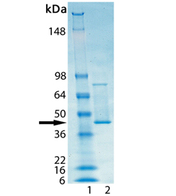SDS-PAGE - Recombinant Human Hsp47 protein (ab92439)