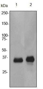 Western blot - Anti-CSPS antibody [EPR3719] (ab92476)