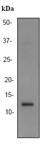 Western blot - Anti-XTP4 antibody [EPR2678] (ab92499)