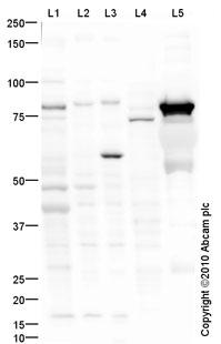 Western blot - Anti-Thrombin antibody (ab92621)