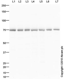 Western blot - Anti-Grp75 antibody (ab92808)