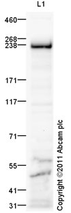 Western blot - Anti-Myosin VIIa antibody (ab92996)