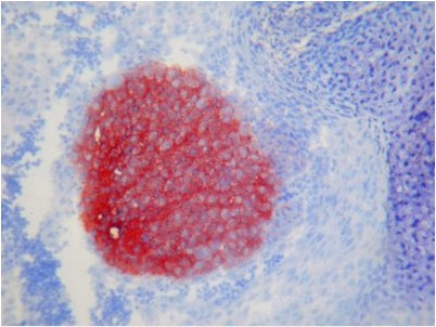Immunohistochemistry (Frozen sections) - Anti-TAG1 antibody [X9A9] (ab93082)
