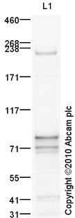 Western blot - Anti-Plexin D1 antibody (ab93234)