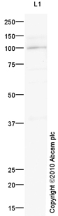 Western blot - Anti-ARHGEF1 antibody (ab93447)