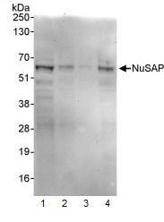 Western blot - Anti-NUSAP1 antibody (ab93779)