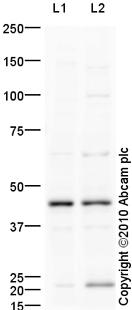 Western blot - Anti-ILF2 antibody (ab93838)