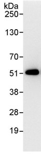 Immunoprecipitation - Anti-gamma Tubulin antibody (ab93867)