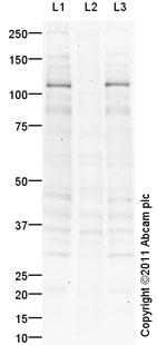 Western blot - GEF H1 (phospho S885) antibody (ab94348)