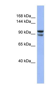 Western blot - Anti-BBX antibody (ab94418)
