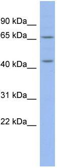Western blot - Anti-MIER3 antibody (ab94477)
