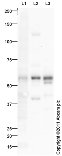Western blot - Anti-TXNRD2 antibody (ab94522)