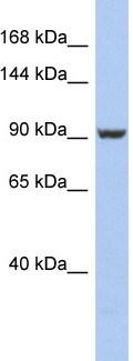 Western blot - Anti-PMS2 antibody (ab94534)