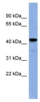 Western blot - Anti-EGR3 antibody (ab94569)