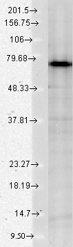Western blot - Anti-Grp75 antibody [S52A-42] (ab94668)