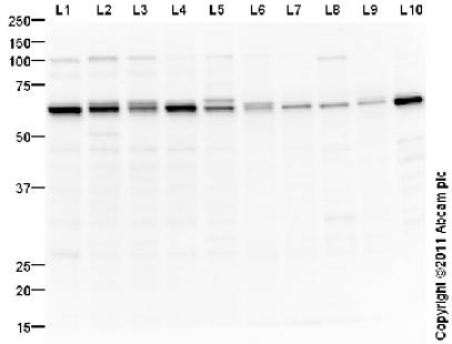Western blot - TRAF6 antibody (ab94720)