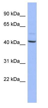 Western blot - Anti-NASP antibody (ab94779)