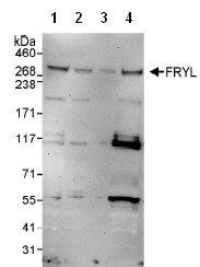 Western blot - Anti-FRYL antibody (ab95011)