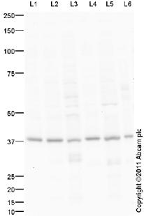 Western blot - Anti-BHLHB5 antibody (ab95136)