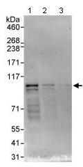 Western blot - Anti-NEK4 antibody (ab95176)