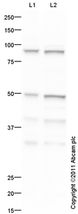 Western blot - Anti-PAX1 antibody (ab95227)