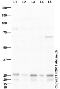Western blot - Anti-Peroxiredoxin 4 antibody (ab95232)