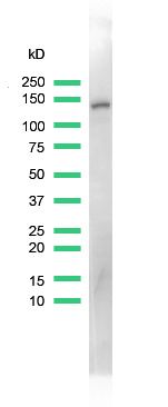 Western blot - Anti-MCM2 antibody [SP85], prediluted (ab95362)