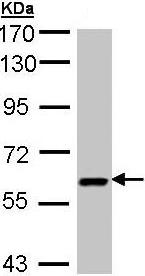 Western blot - Anti-UAP1 antibody (ab95949)