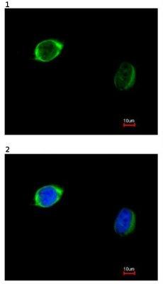 Immunocytochemistry/ Immunofluorescence - Anti-RAB2B antibody (ab95952)