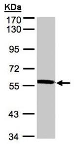 Western blot - Anti-XPNPEP3 antibody (ab95982)